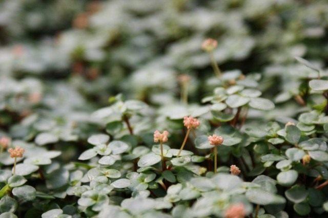 Пилея ливанская (Pilea libanensis)
