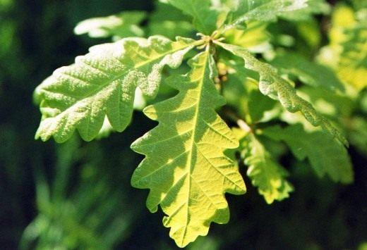 Листья дуба скального