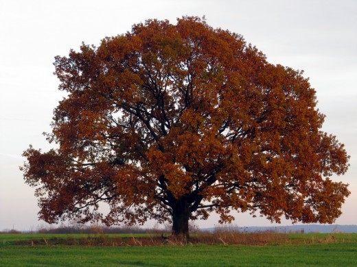 Дуб скальный осенью