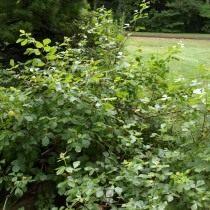 Сумах душистый, или ароматный (Rhus aromatica)