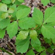 Токсикодендрон пушистый, сумах ядовитый (Toxicodendron pubescens)