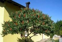 Эффектное и яркое уксусное дерево — сумах