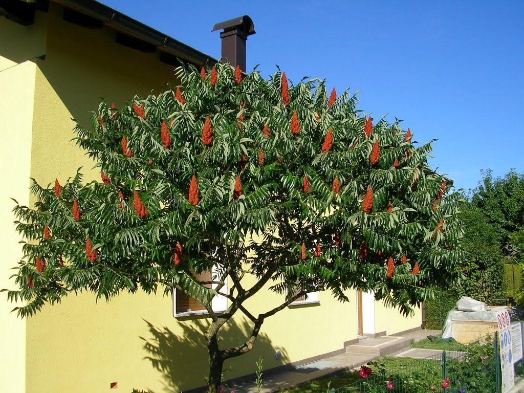 уксусное дерево фото