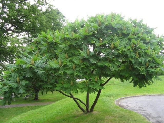 Сумах оленерогий, или Сумах пушистый, Уксусное дерево