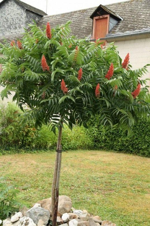 Сумах оленерогий, или Сумах пушистый, Уксусное дерево (Rhus typhina)