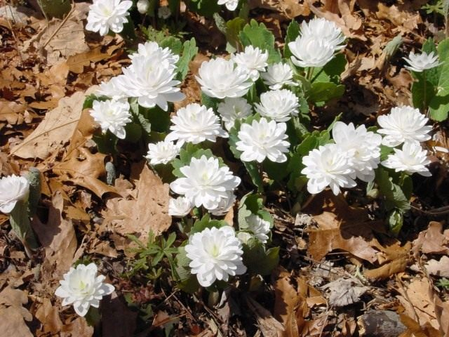 """Сангвинария канадская, сорт Мультиплекс (Sanguinaria canadensis """"Multiplex"""")"""