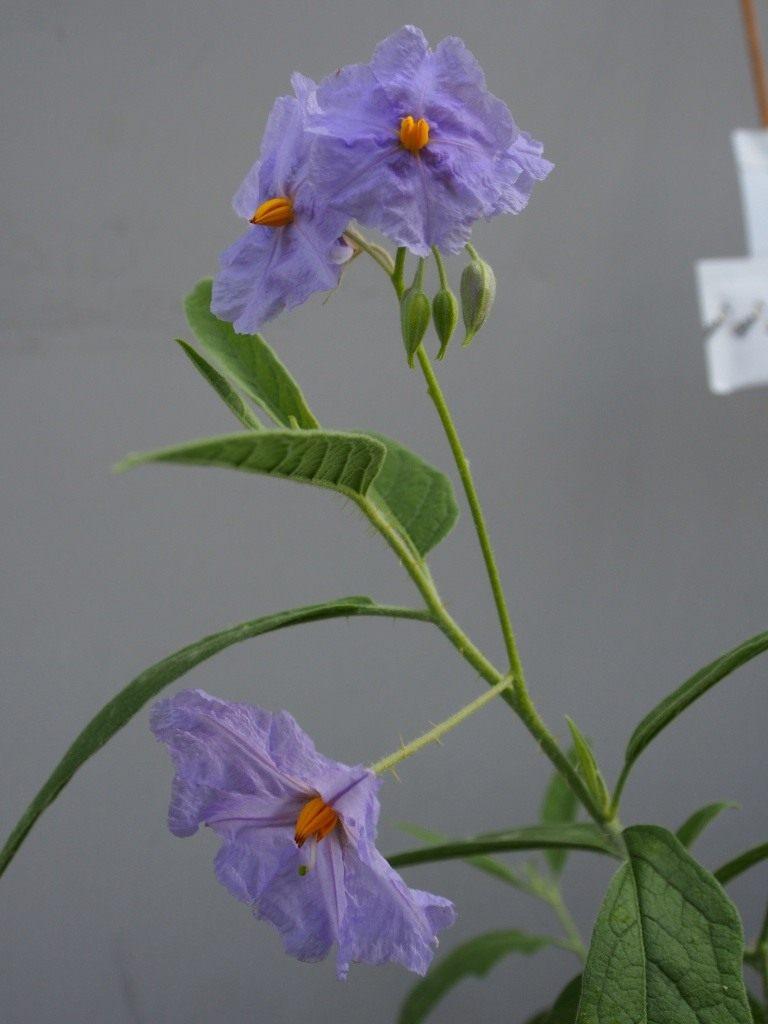 Solanum-Watney