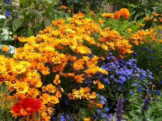 Урсиния укропная и Воловик капский в цветнике
