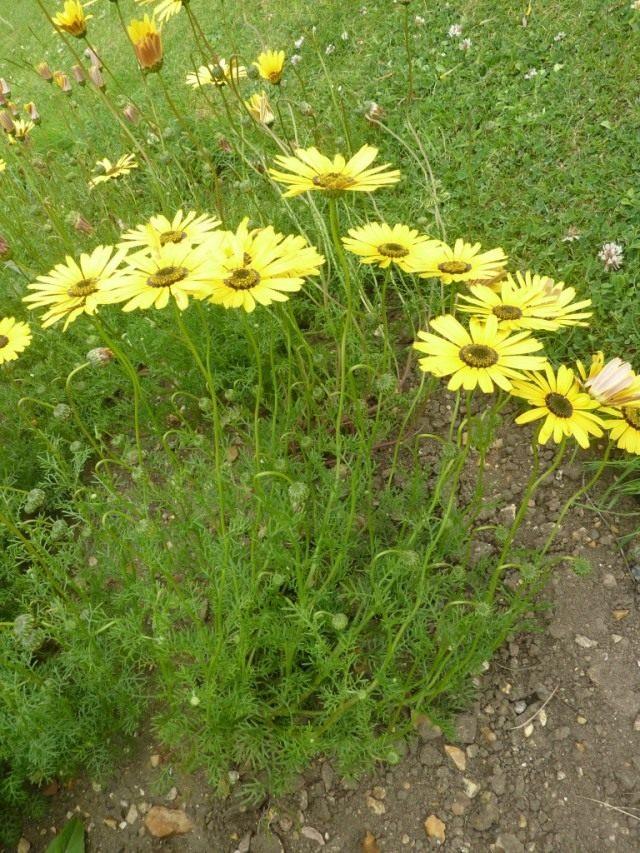 Урсиния красивая (Ursinia speciosa)