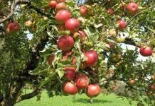 Лучшие сорта яблонь для различных регионов возделывания