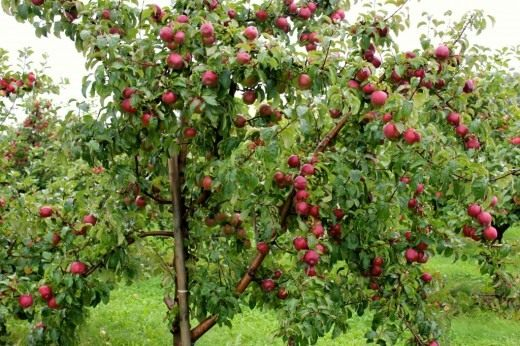 Apples choosing cultivars  RHS Gardening