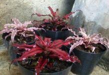 Роскошные листья криптантуса