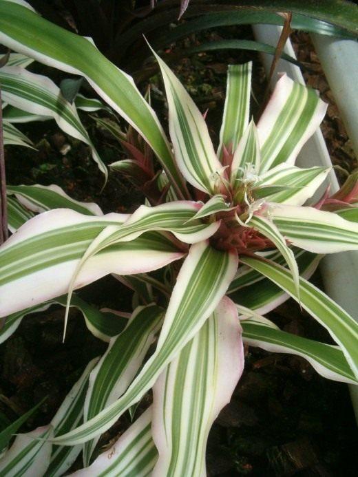 Криптантус бромелиевидный (cryptanthus bromelioides)