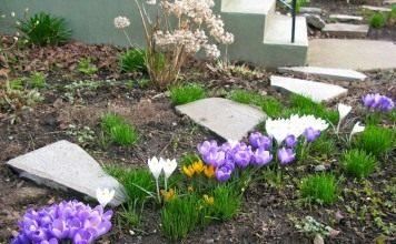Крокусы в весеннем цветнике