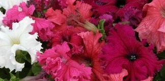 Фриллитунии (frillytunia) — разновидность петунии гибридной (petunia hybrida)