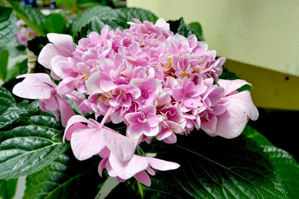 hydrangea-mac-star-gazer-0003