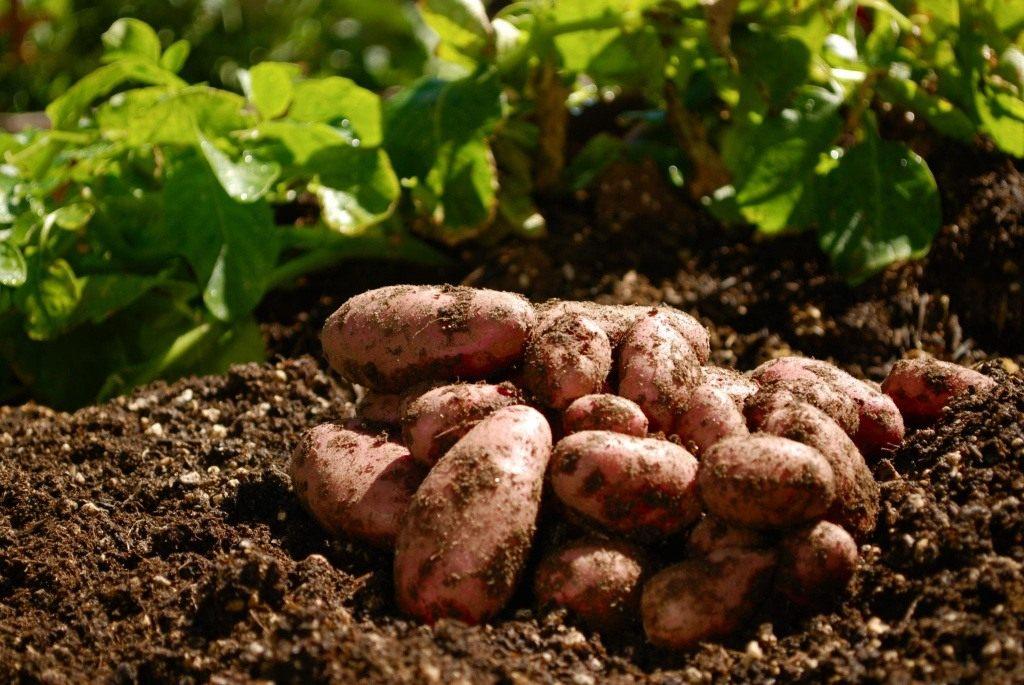 Сорта картофеля  Форум фермеров и дачников