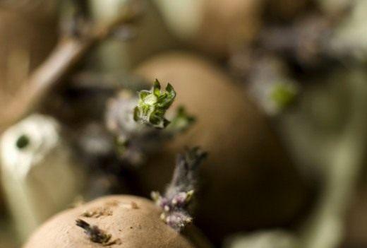 Совмещайте стимуляции роста глазков с озеленением. Пророщенный семенной картофель
