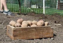 Особенности выращивания картофеля: подготовка и посадка