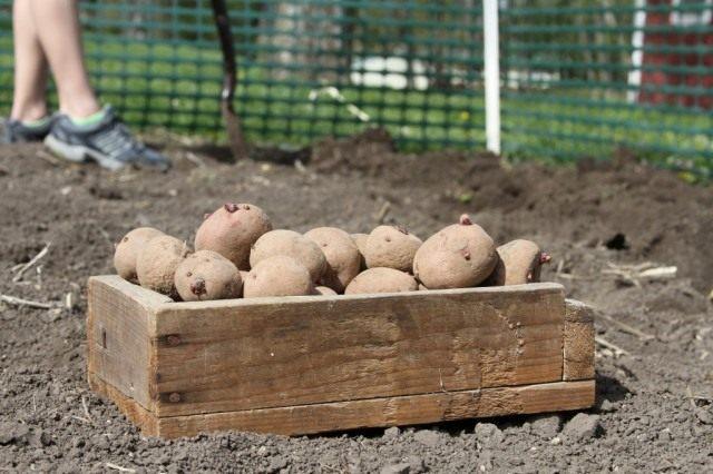 Высадку подготовленных клубней картофеля проводят разными способами в зависимости от типа почвы