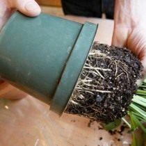 Вынимаем пересаживаемое растение из горшка