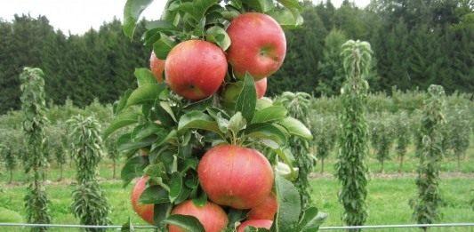 "Колоновидная яблоня ""Соната"""