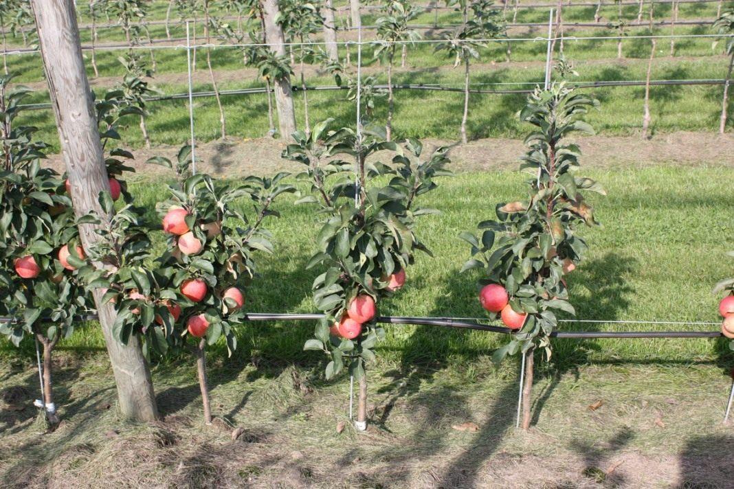 Уход и выращивание яблонь 81