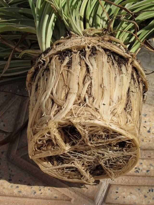 Корневая система комнатного растения, заполнившая весь горшок