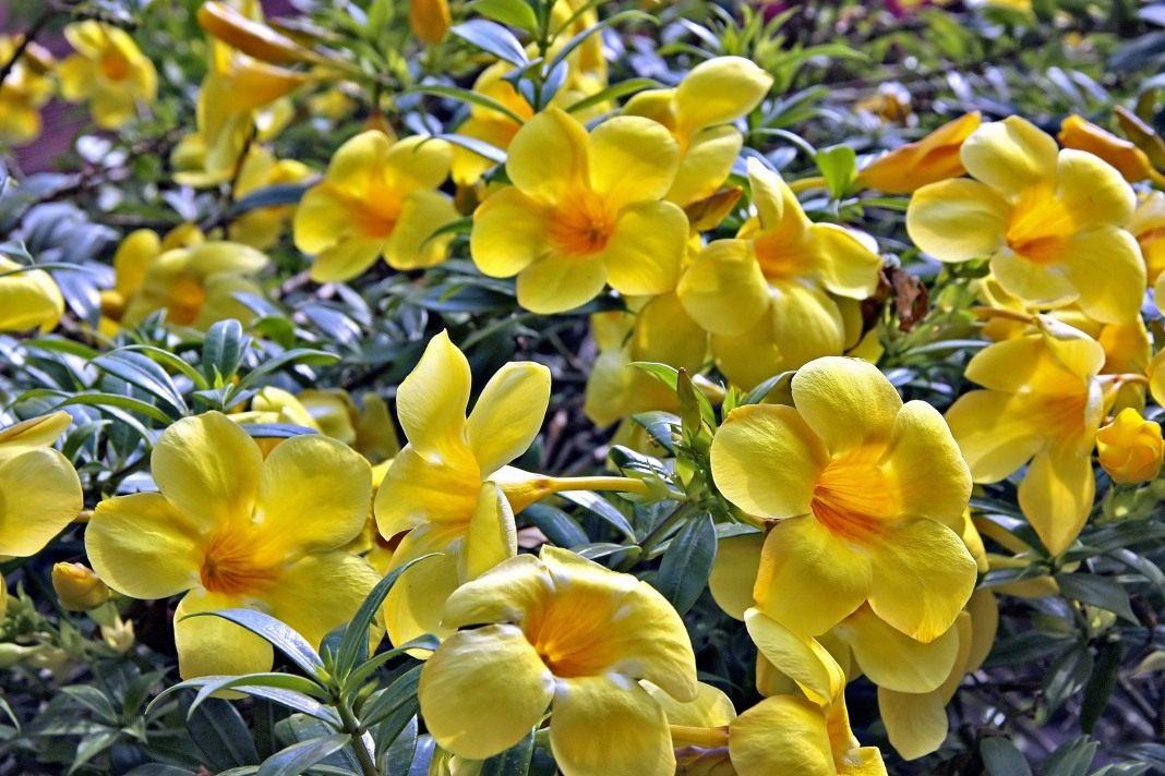 Алламанда  Allamanda описание и уход на FloralWorldru