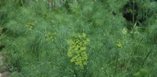 Укроп пахучий, или Укроп огородный (Anethum graveolens) — единственный вид семейства укропных