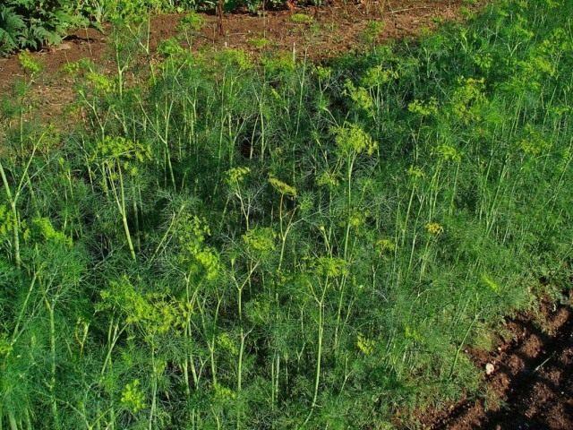 Весь вегетационный период до уборки урожая посевы содержат во влажном состоянии