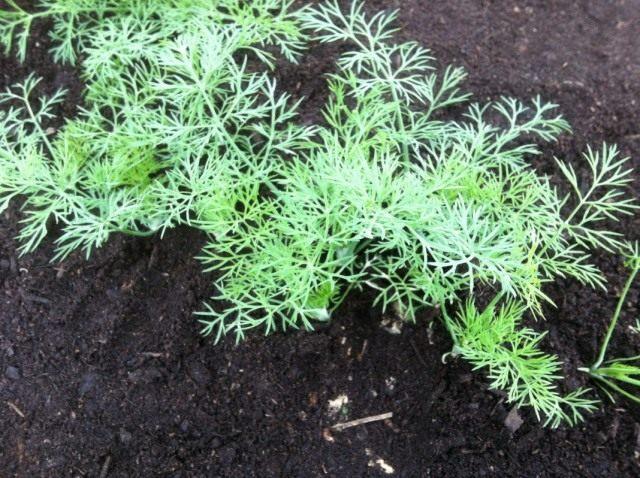 Уборка урожая укропа в технической спелости на зелень проводится при высоте растений 10-20 см