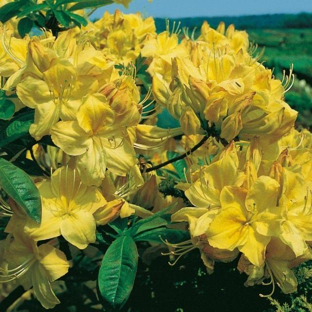 Рододендрон желтый, сорт 'Golden Sunset'