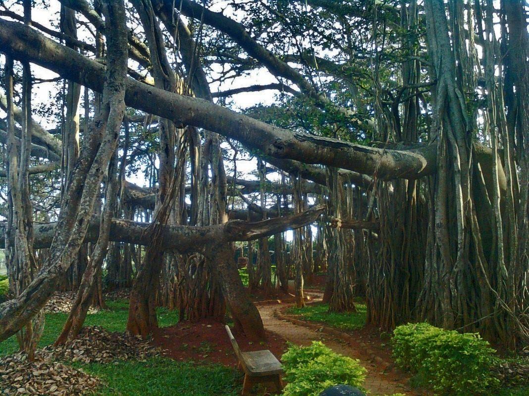 Banyan-Tree-002