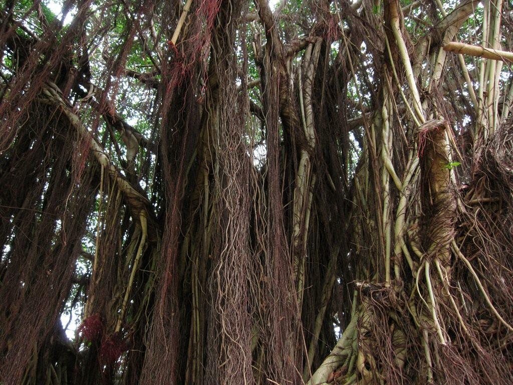 Banyan-Tree-003