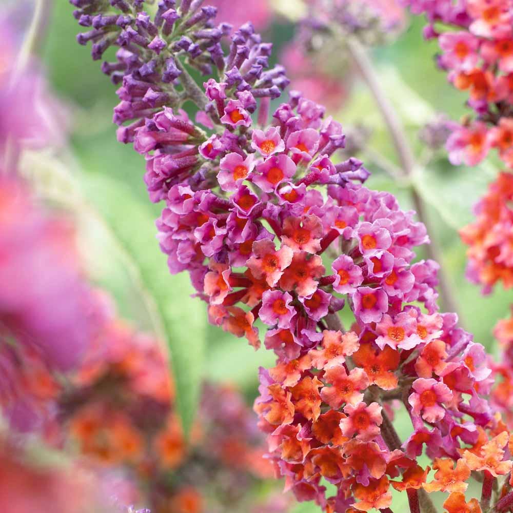 Buddleia-davidii-Bicolor-1