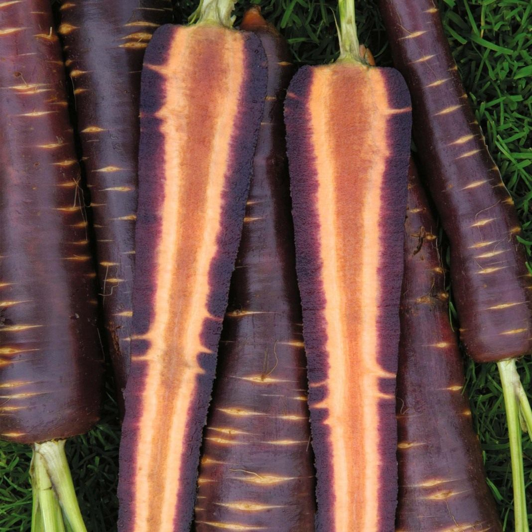 Carrot-Purple-Haze