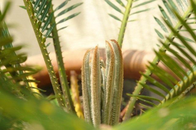 Саговник, или Цикас, или Саговая пальма (Cycas)