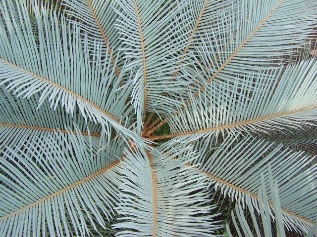Саговник угловатый (Cycas angulata)