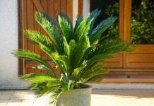 Саговник поникающий, или Цикас поникающий, или отвернутый (Cycas revoluta)
