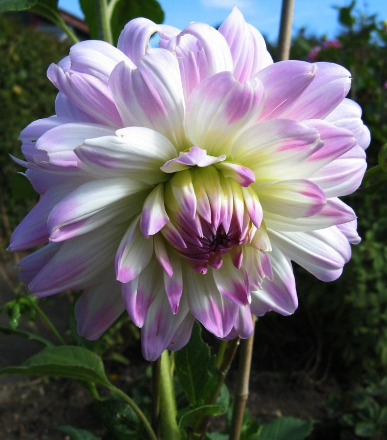 Dahlia-Twilight-time02