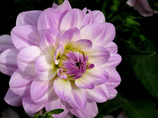 Dahlia-Twilight-time03