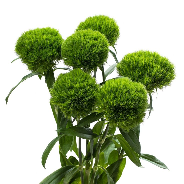 Dianthus-Green-truffle