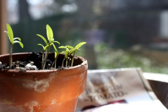 Сеянцы томата обработанные биопрепаратом