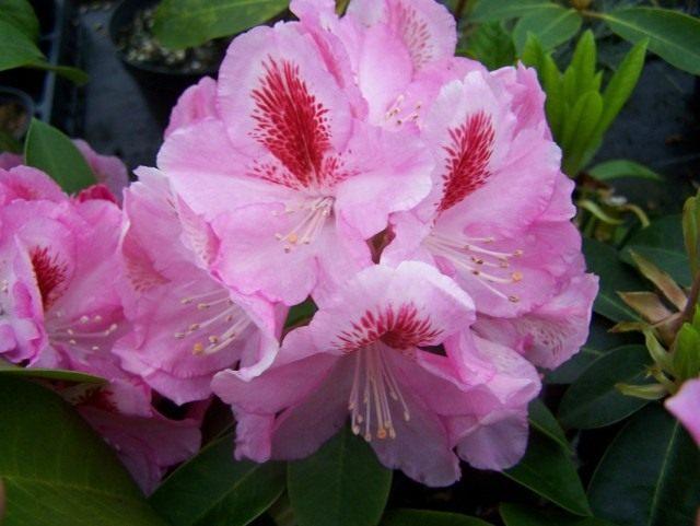 Рододендрон розовый, сорт 'Furnivall's Daughter'