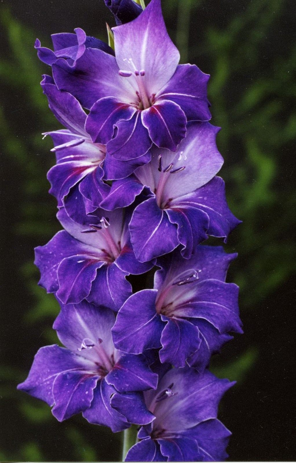 Gladiolus-Violetta
