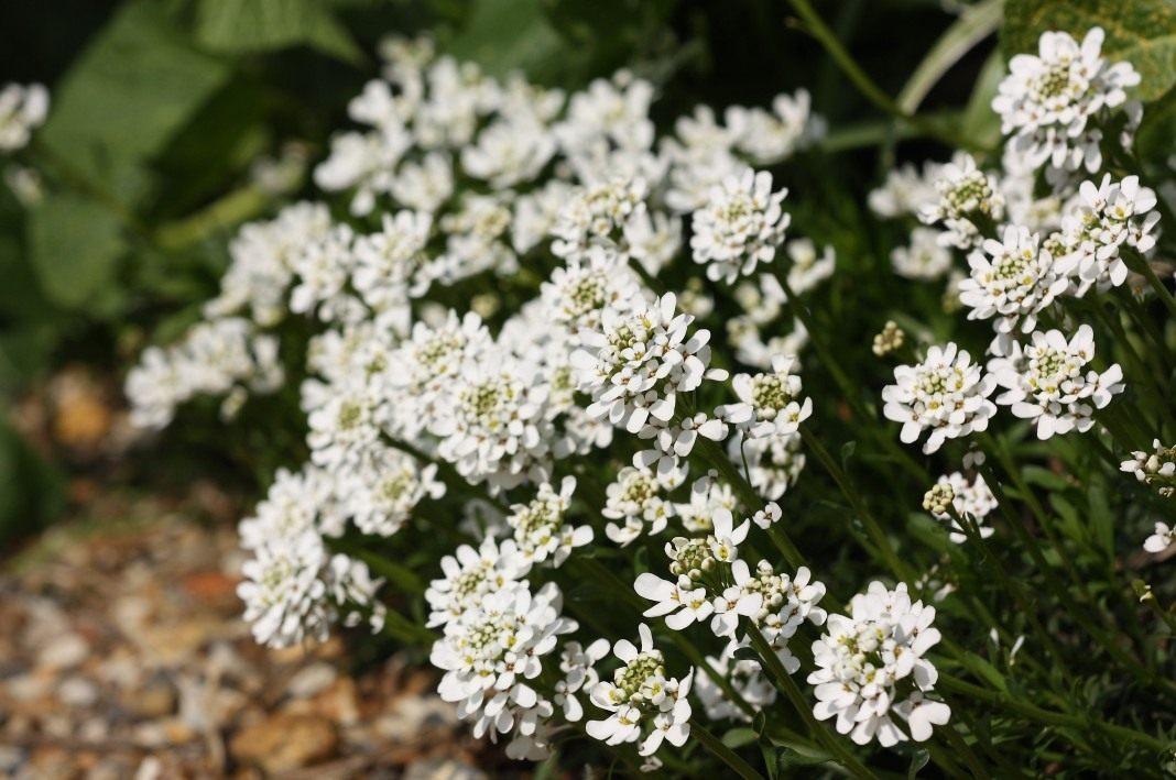 цветы на могилу многолетние