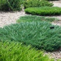 Можжевельник распростёртый, или горизонтальный (Juniperus horizontalis)