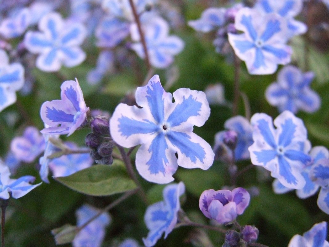 Omphalodes-cappadocica-Starry-Eyes-01