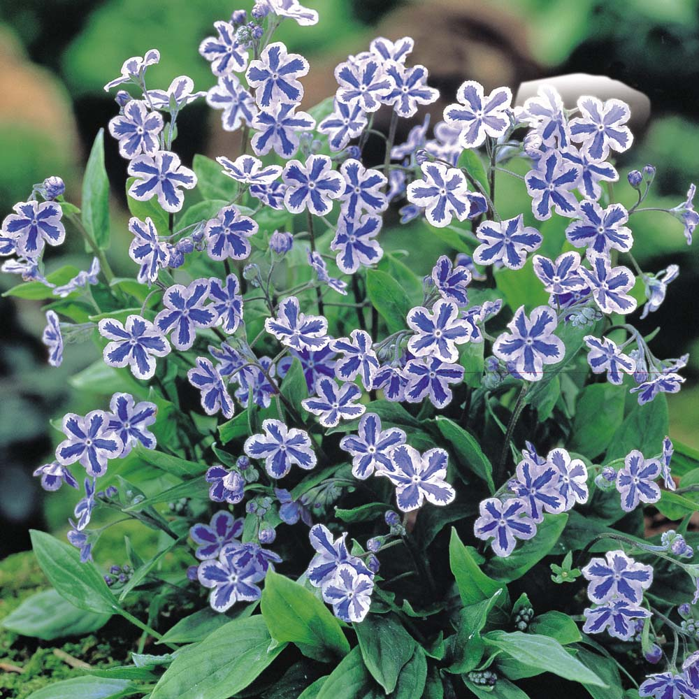 Omphalodes-cappadocica-Starry-Eyes-02